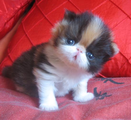 Persian cat for sale za